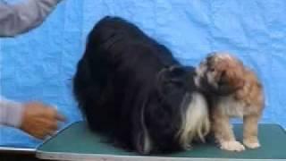 珍犬チベタン、テリアの親子.