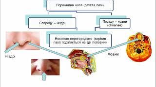Анатомія верхніх дихальних шляхів