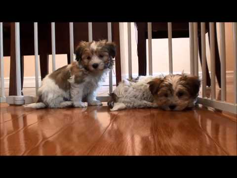 Havanese puppies for sale July 7, 2014