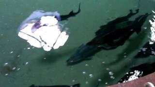 Осетры в бассейне