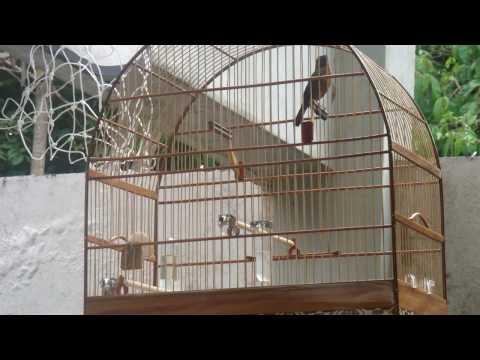 Curió pardinho (Fred Mercury) 2
