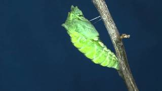 昨日糸掛けをした幼虫が今日蛹化しました。 くの字に曲げた体。突然背中...