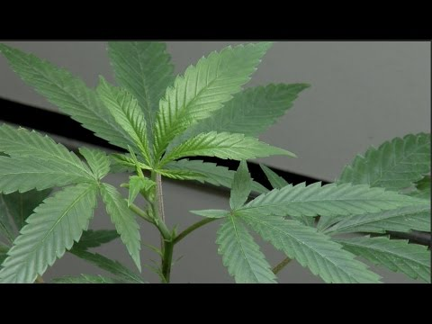 Marijuana Retail And Recreation Licenses Study | University Of Denver (2016)