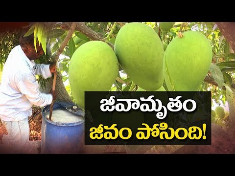 Mango Cultivation In Natural Farming | hmtv Agri