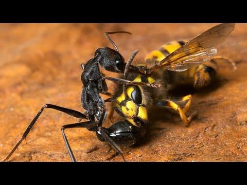 МУРАВЬИ ПРОТИВ богомола, медведки, пчел, ос и других насекомых. Муравьи рабовладельцы!