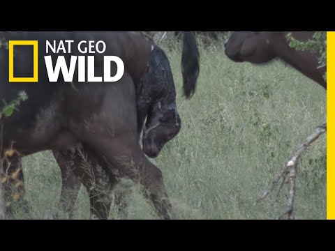 Watch a Wild Buffalo Give Birth in Africa | Nat Geo Wild