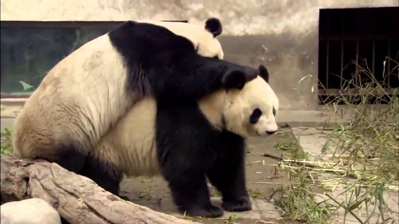 Animal Planet | Discovery Channel | Panda Documentary 2015 ...