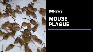 Mouse plague wreaks havoc as farmers spend thousands in desperate battle | ABC News