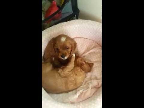PureBreed Cavalier King Charles Spaniel Puppy for Sale