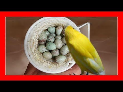 CAUSAS DE INFERTILIDAD EN AVES ✅ (Canarios Periquitos Jilgueros Ninfas Agapornis)