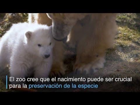 Zoo de Escocia celebra primer nacimiento de oso polar en 25 años