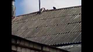 кошка VS ворона