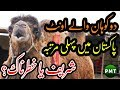 Two Humps Bactrian Camel First Time Imported in Pakistan at Surmawala Cattle Farm for Bakra Eid 2019