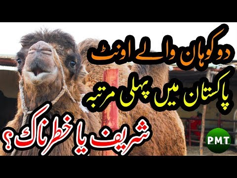 two-humps-bactrian-camel-first-time-imported-in-pakistan-at-surmawala-cattle-farm-for-bakra-eid-2019