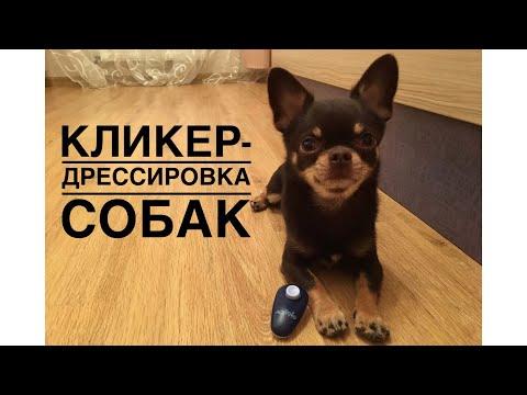 Что такое кликер? Кликер-дрессировка собак.