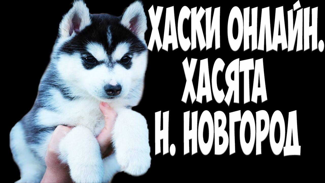 Объявления. Собаки, щенки сибирский хаски, цены, торговля, фото, kартинки.