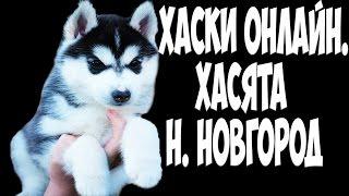 Хаски онлайн. Хасята Нижний Новгород