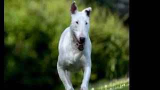 Bull Terrier Dog Breed Images