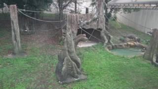 1963年のザークに始まり、長いゴリラ飼育の歴史を持つ神戸王子動物園の...