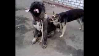 Брачные игры собак