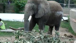 Packy the Oregon Zoo elephant dies at 54 (historical footage)