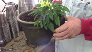 Video # 57 Ornamental Pepper Plant in a Container