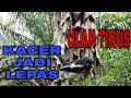 Kacer Trotol Lepas Di Alam Bebas Kicau Sumatra  Mp3 - Mp4 Download