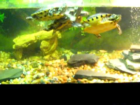 how to make a red ear slider turtle habitat