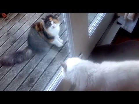 Cute Ragdoll cat face to face with a angry longhair cat