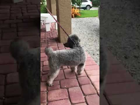 Sweet Finley, the miniature poodle