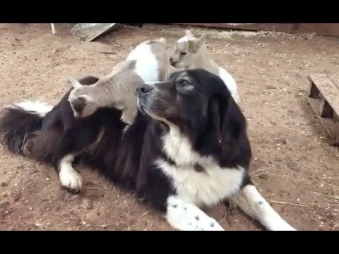 Baby Goats climb all over very patient Dog