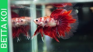 BUYING THE HIGHEST QUALITY OF BETTAFISH