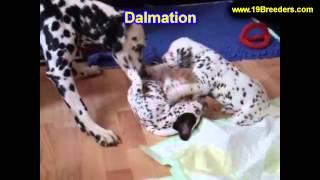 Dalmation, Puppies For Sale, In, Bellevue, Washington, Wa, Yakima, Kitsap, Thurston, Clark, Spokane,