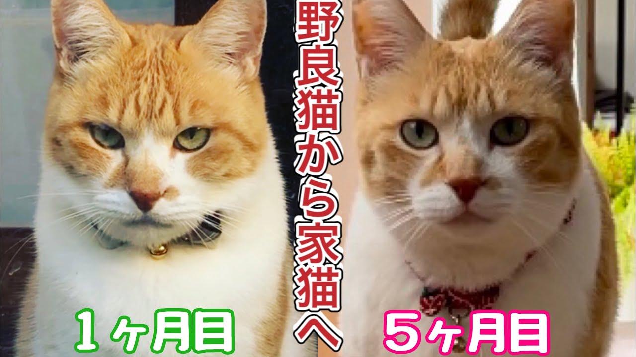 【野良猫から完全家猫へ】5ヶ月目の記録〜総まとめ|目つきが激変!完全に家猫になった元野良猫チャチャ