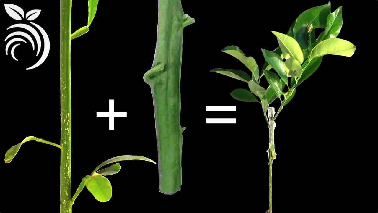 Injertos de Plantas – Cómo Injertar Cítricos en Z - YouTube