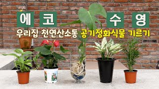 ECO수영클래스 1편_우리집 천연산소통 공기정화식물 기…