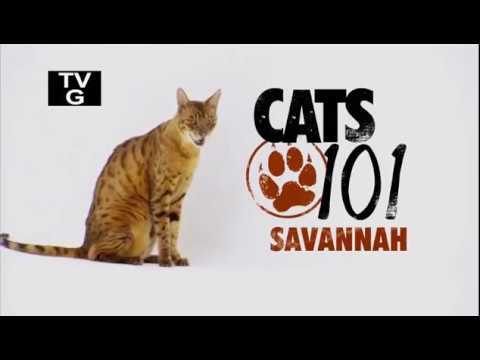 Саванна 101Kote.ru Savannah 101Cats