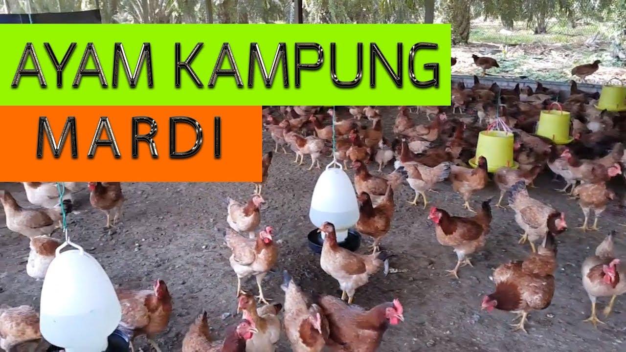 Ayam Kampung Mardi di Quala Farm (Pembaka Betina). Persatuan Ayam Kampung  Malaysia a88230acb4bd
