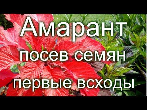Амарант, посев семян, первые всходы