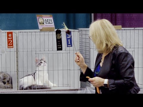 CFA International Cat Show 2018 - Maine Coon kittens Best of Breed