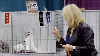 CFA International Cat Show 2018  Maine Coon kittens Best of Breed
