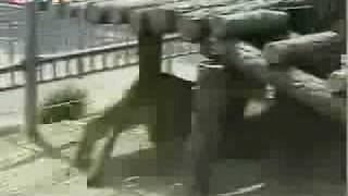 watch real lion vs tiger battle encounters lion kicks tiger s ass