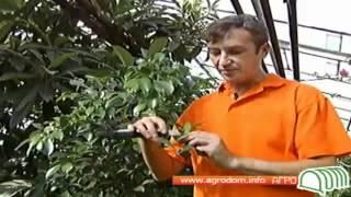 Видео о выращивании фикуса(Строительный портал http://donosvita.org/ представляет видео о фикусах., 2012-04-24T11:24:08.000Z)