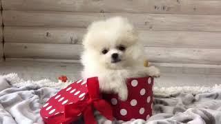 Бело-кремовая пушинка - мини девочка померанский шпиц)
