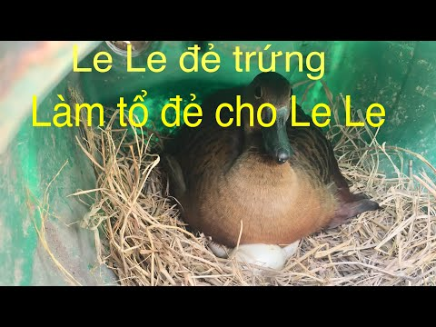 Nuôi Le Le Sinh Sản-cách Làm ổ đẻ Cho Le Le