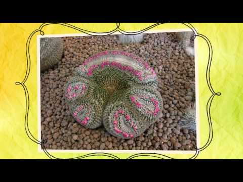 Апорокактус плетевидный - кактус .