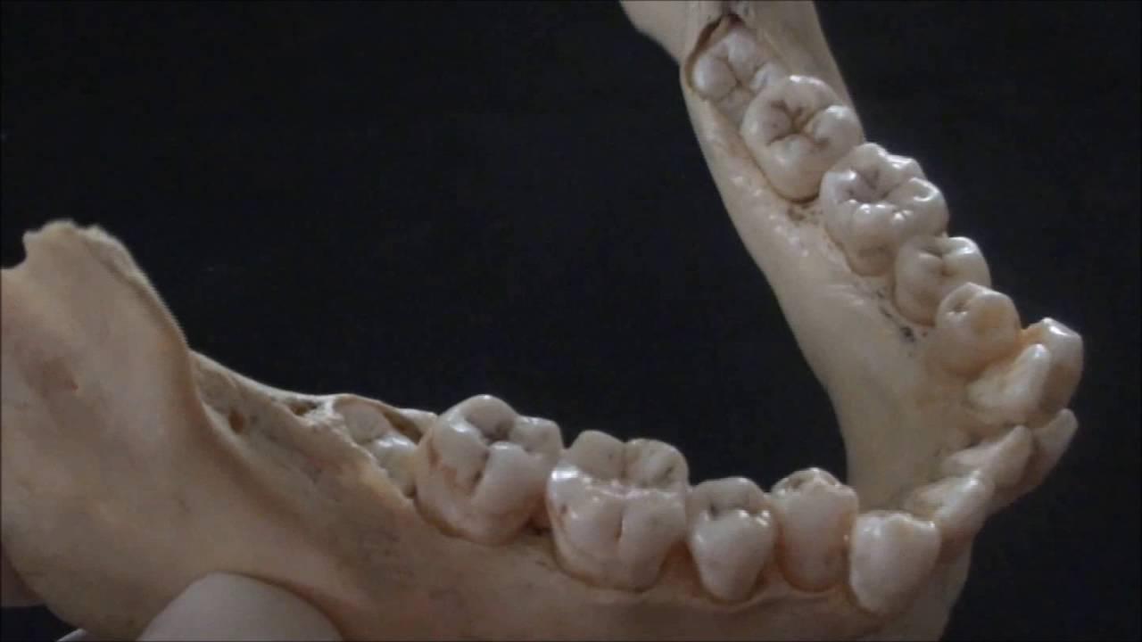 hight resolution of bones of the skull the mandible human anatomy video