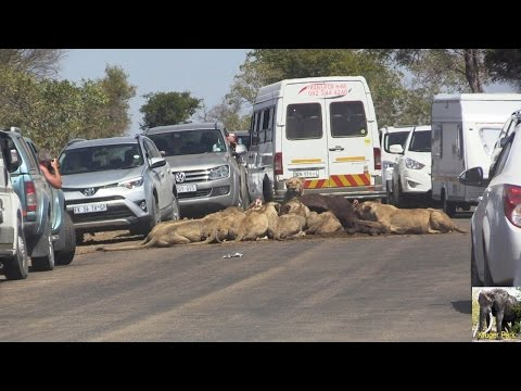 SANParks Rangers Remove Lion Kill From Road To Clear Massive Traffic Jam