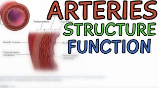 Biology Help: Arteries - Structure and Function (Hemodynamics)