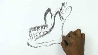 How to Draw a Human Body Mandible